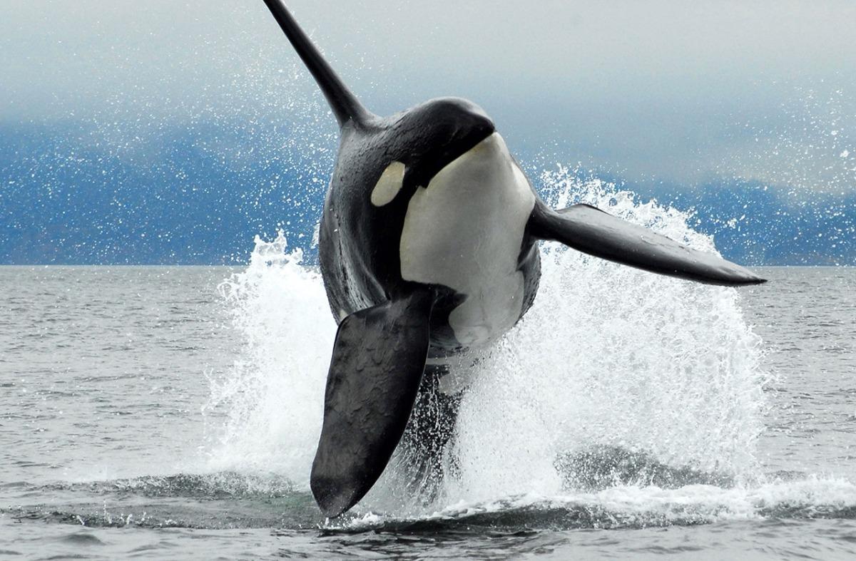 Επιτίθενται ποτέ οι φάλαινες στους ανθρώπους;